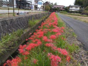 LINE_ALBUM_彼岸花 満開です。_210924
